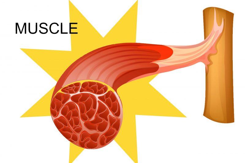 筋肉が分解される