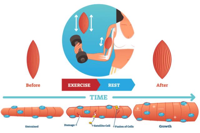 筋肉の回復が妨げられる