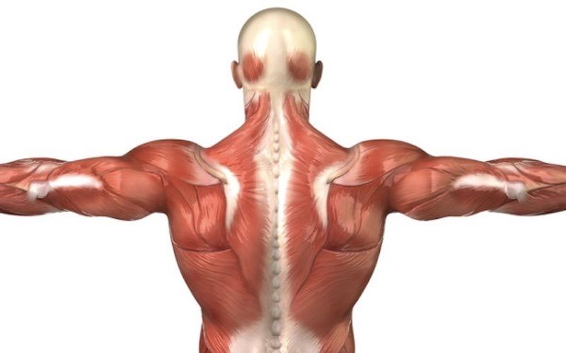 知っておきたい背中の筋肉
