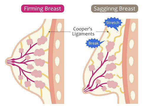 胸の構造と、鍛えるべき部位